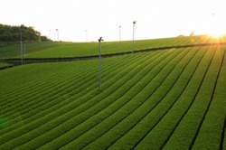green tea farm.jpg
